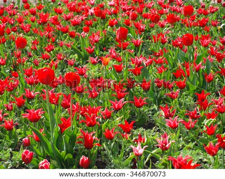 Red tulips with bright petals on the sun - stock photo