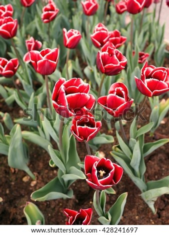 red tulips with white edge on the petals in a green garden 6 - stock photo