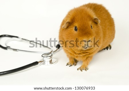 red US-Teddy Guinea with stethoscope - stock photo