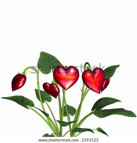 Red valentine hearts in full bloom. Isolated on a white background. - stock photo