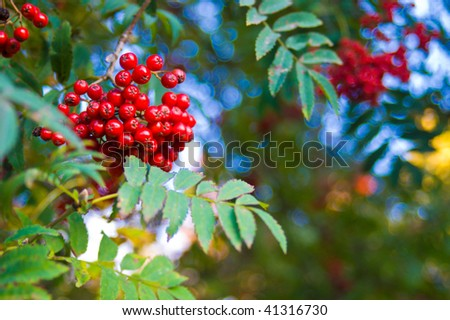 Red vibrant mountain ash berries and blue sky - stock photo