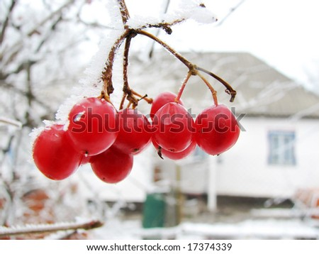 red viburnum berry on frost and old rural house on back plan - stock photo