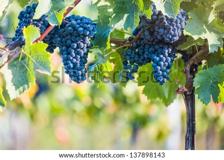 Red vine grapes ready for harvestation, copy space - stock photo