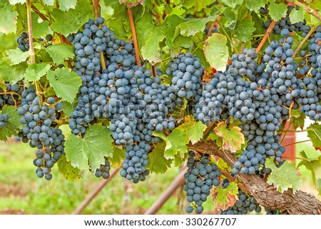 Red vine with ripe grapes in vineyard before harvest - stock photo
