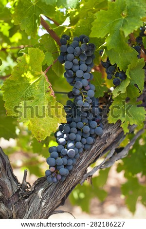 Red vines, Red wine orchard with ripe grapes in the sun - stock photo