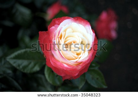 Red-white rose - stock photo