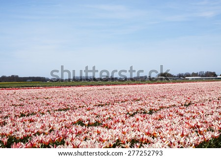 Red white tulip field for background use - stock photo