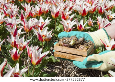 Red white tulip field with bulbs in wooden box on human hands - stock photo