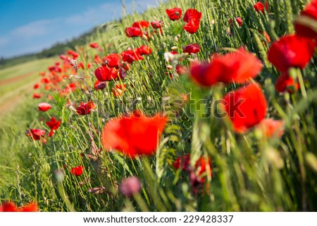 Red wild poppies field landscape - stock photo