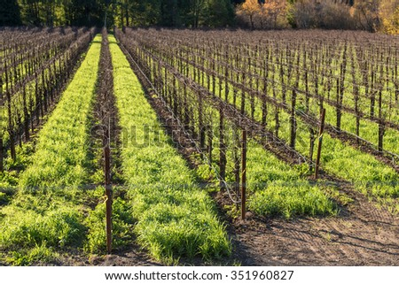 Red wine grape vines in a vineyard with grass between them - stock photo