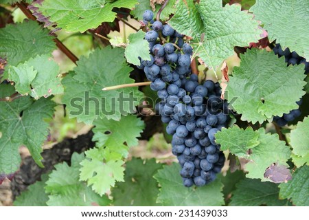 Red wine grapes along the river Moselle (Mosel), Rhineland-Palatinate, Germany. - stock photo