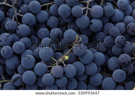 Red wine grapes background/ dark grapes/ blue grapes/ wine grapes - stock photo