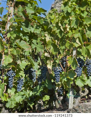 Red Wine Grapes for Harvest - stock photo