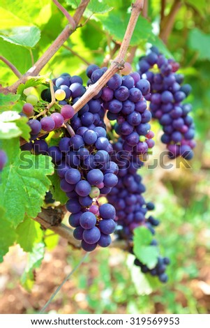 Red wine grapes growing in a vineyard in the Burgundy region of France - stock photo