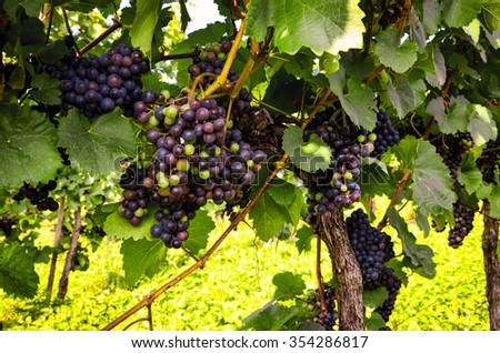 Red wine: Grapes in the vineyard before harvest - stock photo