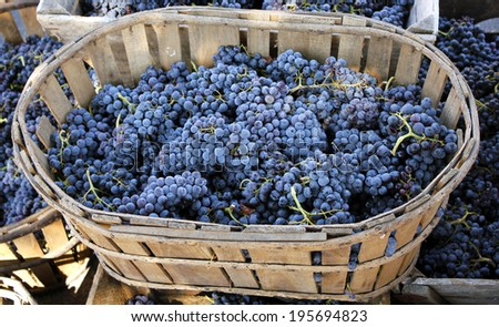 Red wine grapes. The harvesting of wine grapes (Vintage) is one of the most crucial steps in the process of winemaking - stock photo