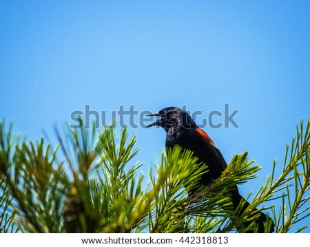 Red-wing blackbird calling from top of pine tree. - stock photo