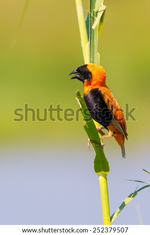 Red winged bird in Pilanesberg state park, South Africa - stock photo