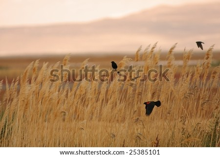 Red-winged blackbirds flying through a field of wheat - stock photo
