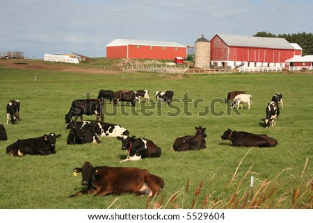 red Wisconsin dairy barns with cows - stock photo