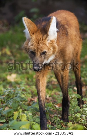Red Wolf - stock photo