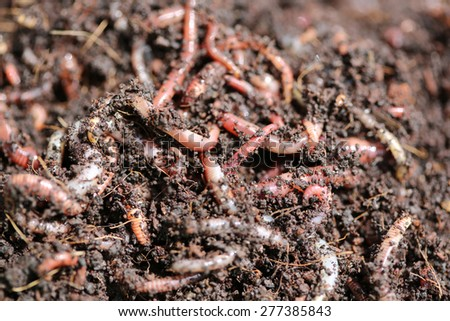 Red Worms (Dendrobena Veneta) - stock photo