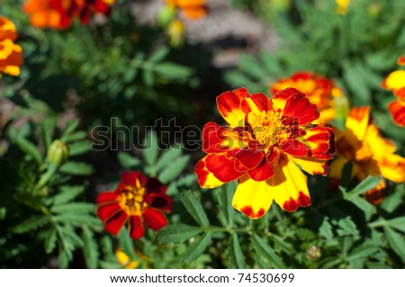 Red, yellow and orange marigold in a botanical garden - stock photo
