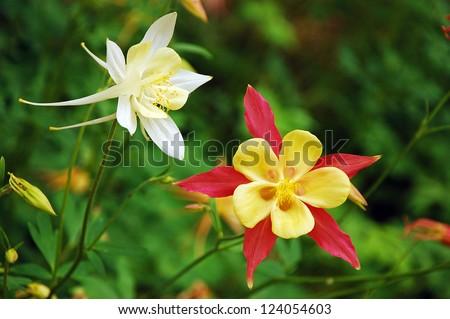 Red, yellow and white columbine flowers - stock photo