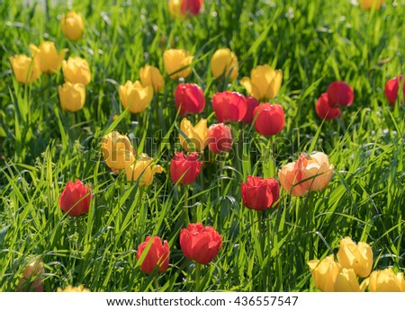 Red, yellow tulips, high green grass, spring time. Vivid colorful nature background. April, May spring tulips flowers blossom. Tulips blooming field, lawn, meadow. Horizontal tulips field scene shot - stock photo