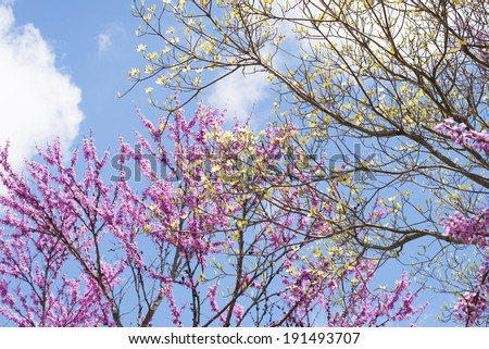 Redbud Trees and Dogwood Trees against a blue sky. - stock photo