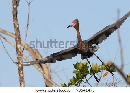 Reddish Egret (Egretta rufescens) in Flight Over a Mangrove Swamp - Fort Myers Beach, Florida - stock photo