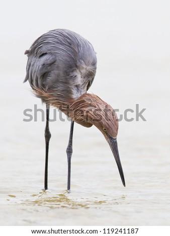 Reddish Egret hunting - Everglades, Florida - stock photo
