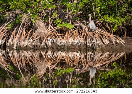 Reddish Egret sitting in Cypress tree roots on a cool fall morning. The bird and trees reflecting in the water. - stock photo