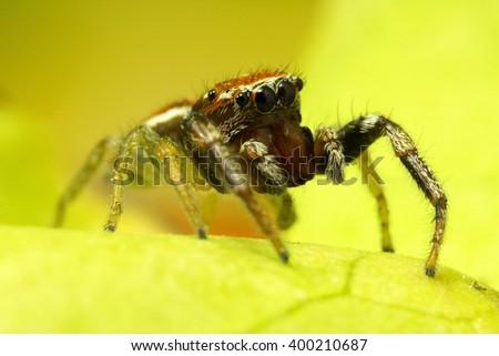 Reddish Jumping Spider - stock photo