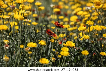 Reddish wild flower in midst of yellow meadow/Wild Flower with Red Orange Yellow Petals and Insect in Middle of Yellow Field/Orange red wildflower and bee in xeriscape - stock photo