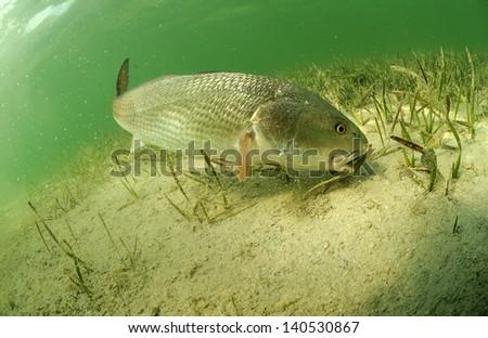 redfish fish swimming in ocean off of the florida coast  - stock photo