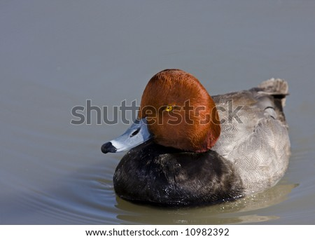 Redhead duck - stock photo