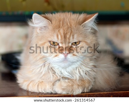 redhead hairy cat is looking seriously - stock photo