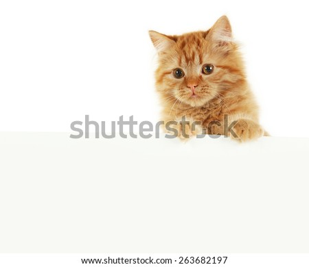 Redhead long hair kitten on white banner - stock photo