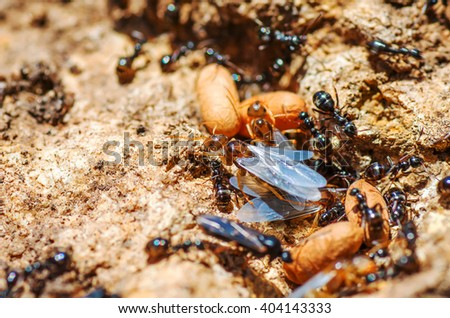 Redhead queen ant with wings leaves spring anthill. natural composition - stock photo