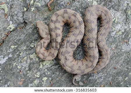 Redi's viper or italian asp (Vipera aspis francisciredi) pattern - stock photo