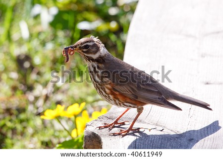 Redwing (Turdus iliacus) with worms in mouth, close-up - stock photo