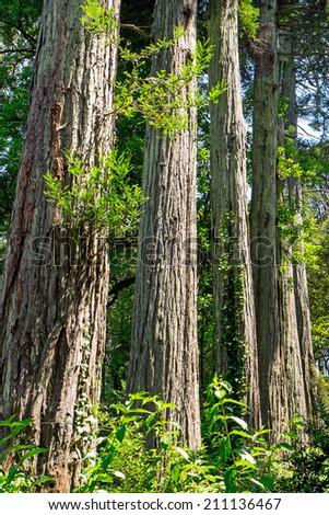 Redwood trees in line - stock photo