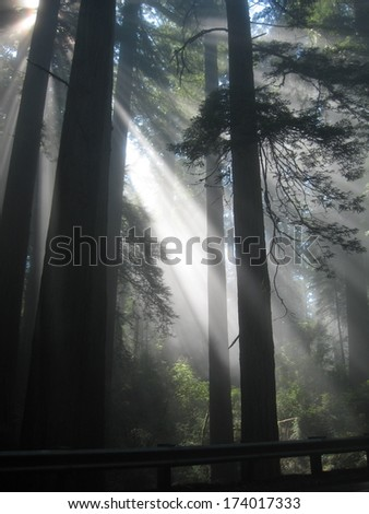 Redwoods Sunshine - stock photo