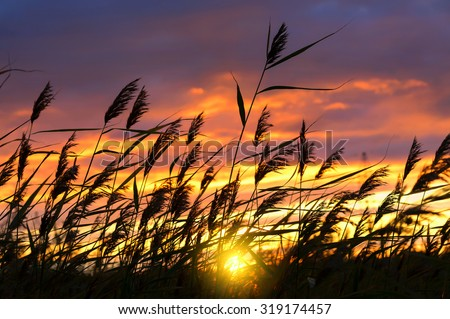 Reed against the background of a dramatic sunset sky - stock photo