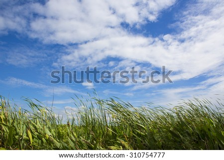 Reed against the sky - stock photo