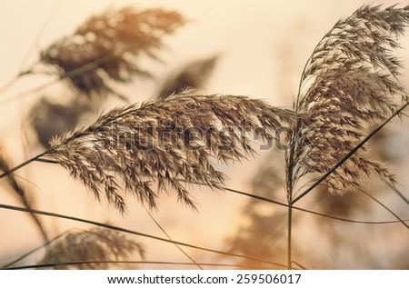 Reed against the sunset close-up. Retro style. - stock photo