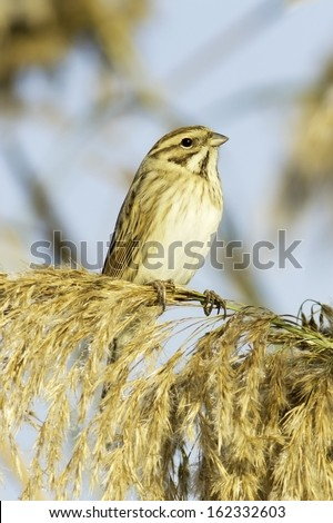 Reed Bunting, in winter plumage (Emberiza schoeniclus)  - stock photo