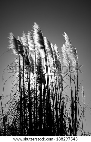reed grasses at sunset - monochrome - stock photo