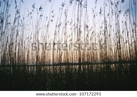 Reed in front of the sea at sunset, Sweden. - stock photo